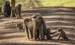 Les babouins de singe s'approchent du lac Nakuru au Kenya Photos libres de droits