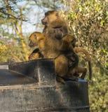 Les babouins de singe s'approchent du lac Nakuru au Kenya Image stock