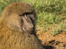 Les babouins de singe s'approchent du lac Nakuru au Kenya Photos stock