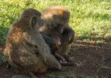 Les babouins de singe s'approchent du lac Nakuru au Kenya Photographie stock