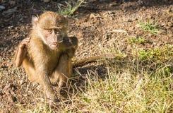 Les babouins de singe s'approchent du lac Nakuru au Kenya Photographie stock libre de droits