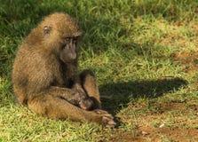 Les babouins de singe s'approchent du lac Nakuru au Kenya Photo stock