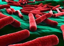 Les bactéries d'Ecoli se ferment vers le haut du rouge Image libre de droits