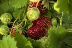 Les baies de fraise se développent et chanté dans le jardin au printemps Photo stock