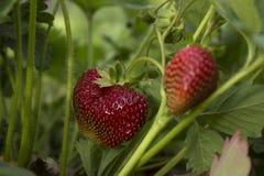 Les baies de fraise se développent et chanté dans le jardin au printemps Images stock