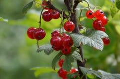 Les baies de la groseille rouge accrochant sur une branche Photo libre de droits
