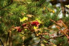 Les baies de sorbe, branches de pin, ont consacré par le soleil images stock