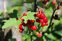 Les baies mûres de groseille rouge pendent d'un buisson photos libres de droits