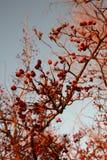 Les baies mûres et sèches rouges d'aubépine s'embranchent à l'arrière-plan de ciel d'hiver images stock