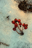 Les baies mûres et sèches rouges d'aubépine s'embranchent l'hiver glacial de fond de neige photo libre de droits