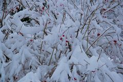 Les baies rouges baguent des buissons couverts de neige blanche et de gel Photographie stock