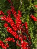 Les baies rouges et le cyprès vert s'embranche fond de Noël Photo libre de droits