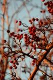 Les baies rouges sèches et mûres d'aubépine s'embranchent à l'arrière-plan de ciel d'arbre d'hiver photographie stock