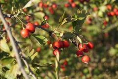Les baies rouges sur la branche, fond est trouble photographie stock