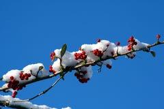 Les baies rouges sur une neige ont couvert le branchement. Images stock