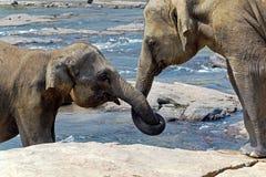 Les baisers d'éléphant représentent l'amour Photographie stock