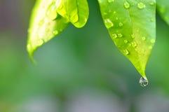 Les baisses de la rosée arrosent sur une feuille verte fraîche photos stock
