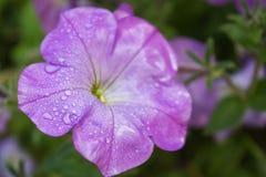Les baisses de la rosée sur un pétunia pourpre fleurissent photos libres de droits