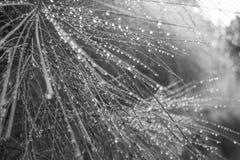 Les baisses de pluie sur des aiguilles de pin se ferment vers le haut de noir et blanc Photographie stock