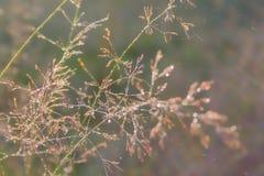 Les baisses de rosée sur des lames d'herbe pendant le matin refroidissent Images stock