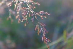Les baisses de rosée sur des lames d'herbe pendant le matin refroidissent Images libres de droits