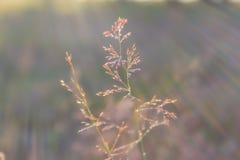Les baisses de rosée sur des lames d'herbe pendant le matin refroidissent Photos stock