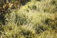 Les baisses de rosée sur l'herbe vert clair, champ, lever de soleil, lumière du soleil illumine la rosée et les herbes Photographie stock