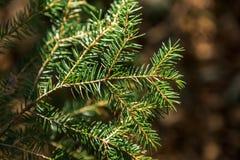Les baisses de rosée sur le pin poussent des feuilles au foyer sélectif d'american national standard de premier plan image stock