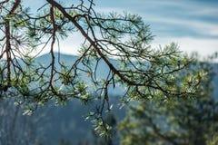 Les baisses de rosée sur le pin poussent des feuilles au foyer sélectif d'american national standard de premier plan photos libres de droits
