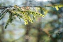 Les baisses de rosée sur le pin poussent des feuilles au foyer sélectif d'american national standard de premier plan photo stock