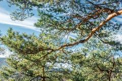 Les baisses de rosée sur le pin poussent des feuilles au foyer sélectif d'american national standard de premier plan image libre de droits