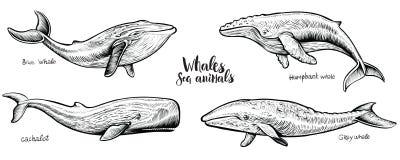 Les baleines dirigent l'illustration tirée par la main illustration de vecteur