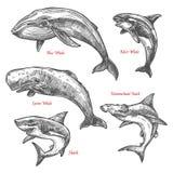 Les baleines géantes de requin d'animaux de mer dirigent des icônes de croquis illustration libre de droits