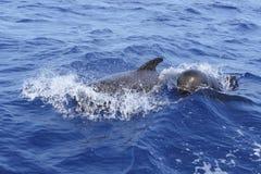Les baleines pilotes libèrent avec la chéri dans méditerranéen Photos libres de droits