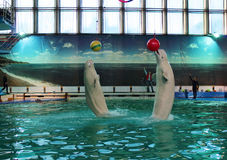 Les baleines polaires blanches montrent dans la piscine de dolphinarium. St Petersburg, Russie. Photos libres de droits