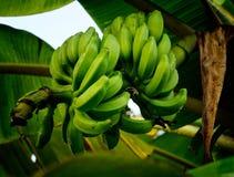 Les bananes n'ont pas été mûrissent maintenant Image stock