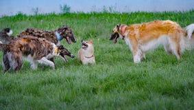 Les barzoïs chasse Shiba Inu I image stock