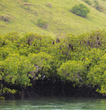 Les battes se reposant dedans frotte avec les racines aériennes du Singapour côtier Image libre de droits