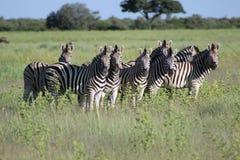Les beautés barrées de l'Afrique Images stock