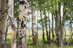 Les beaux arbres de bouleau avec l'écorce de bouleau blanc dans le verger de bouleau avec le bouleau vert part dedans tôt photos libres de droits