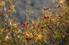 Les beaux buissons de sauvage se sont levés dans les rayons du coucher du soleil sur la montagne Photo stock