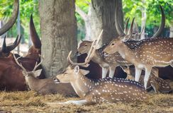 Les beaux cerfs communs d'un klaxon restent sous l'arbre image stock