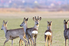 Les beaux cerfs communs dans une liberté Photographie stock libre de droits