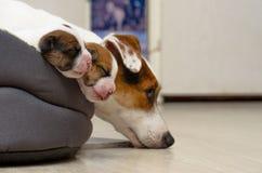 Les beaux chiots nouveau-nés de terrier de Russel de cric, dorment gentiment dans un lit duveteux Brouillez le fond et une petite Image libre de droits