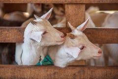 Les beaux couples badinent les chèvres blanches Deux petites chèvres blanches se tenant dans l'abri en bois et regardant l'appare images stock