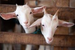 Les beaux couples badinent les chèvres blanches Deux petites chèvres blanches tenant I photographie stock