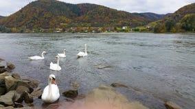 Les beaux cygnes nageant dans le Danube encaissent en automne autour de la ville de Durnstein, Autriche Photo libre de droits