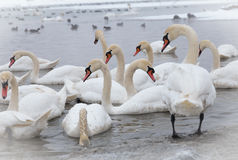 Les beaux cygnes nagent en rivière congelée Danube Images libres de droits