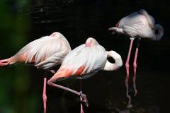 Les beaux flamants ont caché leurs becs sous leurs ailes photographie stock