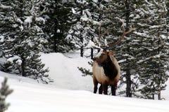Les beaux grands élans de taureau dans Yellowstone neigeux se garent Photos stock
